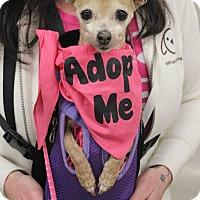 Adopt A Pet :: BONITA - Westminster, CO