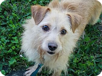 Terrier (Unknown Type, Small) Mix Dog for adoption in Terra Ceia, Florida - WOODY