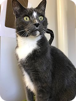 Domestic Shorthair Cat for adoption in Albion, New York - Smokey