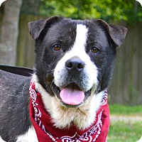 St. Bernard/Terrier (Unknown Type, Medium) Mix Dog for adoption in Lafayette, Louisiana - Beethoven