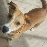 Golden Retriever Mix Dog for adoption in Lufkin, Texas - Blondie