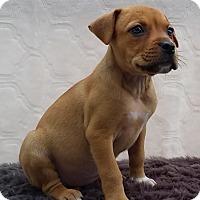 Adopt A Pet :: Cass - East Sparta, OH