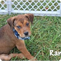 Mountain Cur Mix Dog for adoption in Cuyahoga Falls, Ohio - Car litter: Ranger