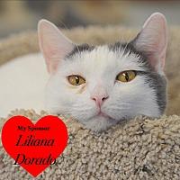 Domestic Shorthair Cat for adoption in San Leon, Texas - Monty