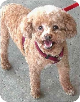 Poodle (Toy or Tea Cup) Dog for adoption in Vista, California - Pierrot
