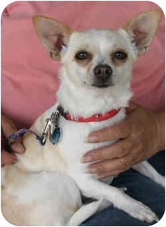 Chihuahua Dog for adoption in Loudonville, New York - Nilla