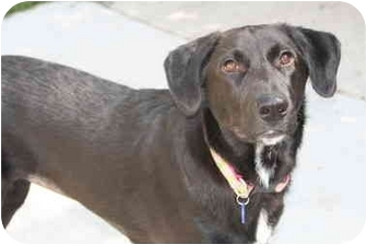 German Shepherd Dog/Labrador Retriever Mix Dog for adoption in Racine, Wisconsin - Zoee