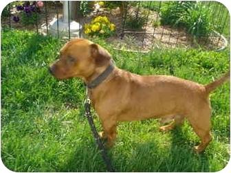 Dachshund Mix Dog for adoption in Clinton, Missouri - Bruzer