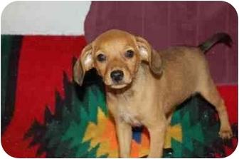 Labrador Retriever/German Shepherd Dog Mix Puppy for adoption in Chula Vista, California - Annie
