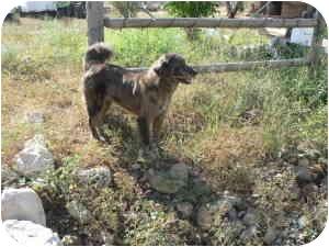 Australian Shepherd Mix Dog for adoption in Mesa, Arizona - Wave