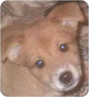 Terrier (Unknown Type, Medium)/Retriever (Unknown Type) Mix Puppy for adoption in Muskogee, Oklahoma - Macie