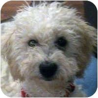 Bichon Frise Mix Puppy for adoption in La Costa, California - Chipper