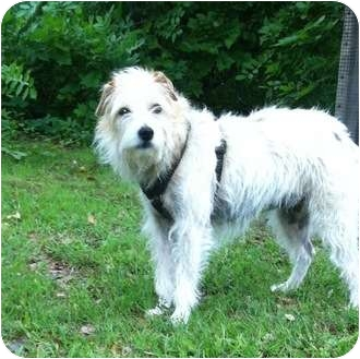 Jack Russell Terrier Dog for adoption in Thomasville, North Carolina - Lynsie