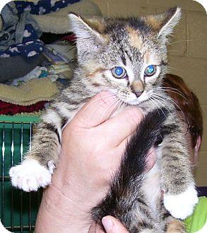 Domestic Shorthair Kitten for adoption in Somerset, Pennsylvania - Annie