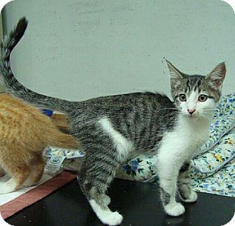 Domestic Shorthair Kitten for adoption in Scranton, Pennsylvania - Sabistian (reduced to $65)
