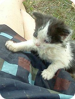 Domestic Shorthair Kitten for adoption in Columbus, Ohio - Woody