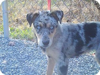 Australian Shepherd/Australian Cattle Dog Mix Puppy for adoption in Harrisonburg, Virginia - Cher