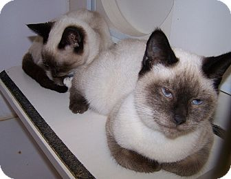 Siamese Cat for adoption in Concord, North Carolina - Layling