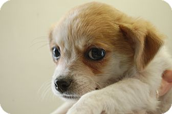 Maltese/Chihuahua Mix Puppy for adoption in SLC, Utah - Thelma