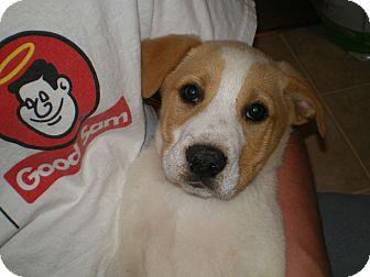 Border Collie/Labrador Retriever Mix Puppy for adoption in Apex, North Carolina - Truman