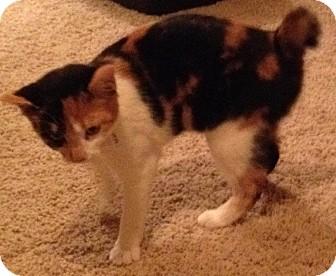 Japanese Bobtail Cat for adoption in Nashville, Tennessee - Gigi Bobtail