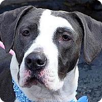 Adopt A Pet :: PATCHES - Prospect, CT
