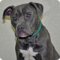 Adopt A Pet :: Blue - Port Washington, NY