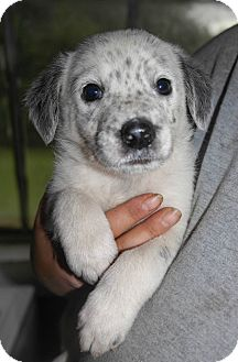 Australian Cattle Dog/Blue Heeler Mix Puppy for adoption in Starkville, Mississippi - Glen