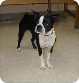 Boston Terrier Dog for adoption in Temecula, California - Roxy