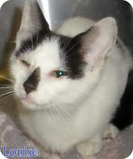 Domestic Shorthair Kitten for adoption in Georgetown, South Carolina - Louise