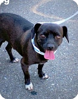 Pug/Jack Russell Terrier Mix Dog for adoption in Sunnyvale, California - Danny