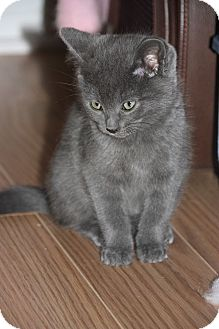 Russian Blue Kitten for adoption in THORNHILL, Ontario - MORGAN
