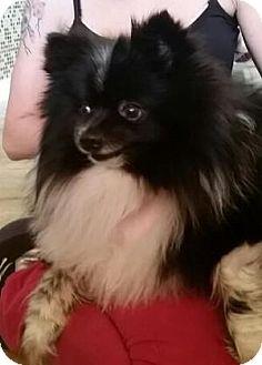 Pomeranian Mix Dog for adoption in Bunnell, Florida - Oreo
