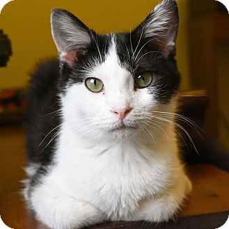 Domestic Shorthair Cat for adoption in Marietta, Georgia - Tux
