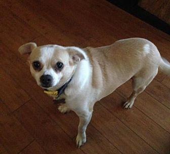 Chihuahua Dog for adoption in Rochester, Minnesota - Rio