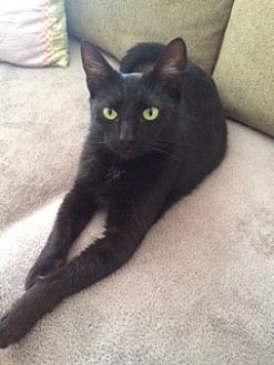 Domestic Shorthair Cat for adoption in Long Beach, New York - Trixie