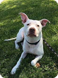 American Staffordshire Terrier/American Pit Bull Terrier Mix Dog for adoption in Lansing, Kansas - TRISTAN