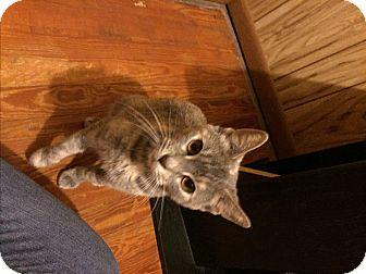 Domestic Shorthair Cat for adoption in Carlisle, Pennsylvania - MazeCP