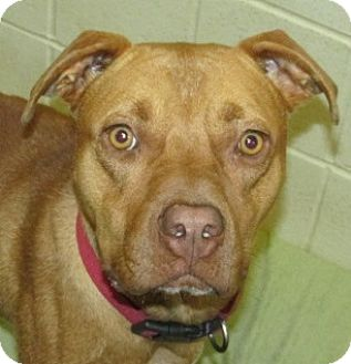 Retriever (Unknown Type)/Pit Bull Terrier Mix Dog for adoption in Aiken, South Carolina - HAGGIS