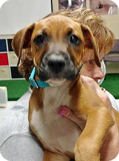 Boxer Mix Puppy for adoption in Toledo, Ohio - Marsha