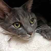 Adopt A Pet :: Pudgy the Cat* - Miami, FL