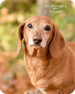 Dachshund Dog for adoption in Cincinnati, Ohio - Oscar