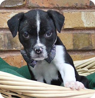 Terrier (Unknown Type, Small) Mix Puppy for adoption in Benbrook, Texas - Bark-tholomew