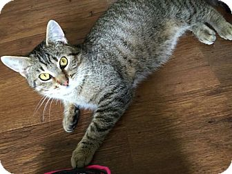 Domestic Shorthair Cat for adoption in Des Moines, Iowa - Ricky Bobby