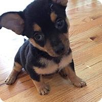 Adopt A Pet :: McCauley - Alpharetta, GA