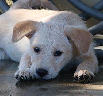 Border Terrier/Shepherd (Unknown Type) Mix Dog for adoption in San Diego, California - Loki