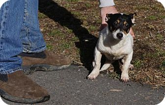 Jack Russell Terrier/Chihuahua Mix Dog for adoption in Alturas, California - Snoopy