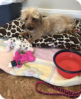 Dachshund Dog for adoption in Pearland, Texas - Murphy