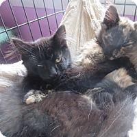 Domestic Mediumhair Kitten for adoption in Coos Bay, Oregon - Boat Basin 2