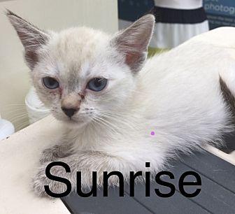 Siamese Kitten for adoption in Glendale, Arizona - SUNRISE